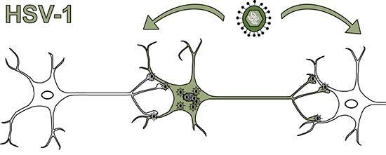На картинке показана передача вируса из зараженной нервной клетки по ее аксонам.
