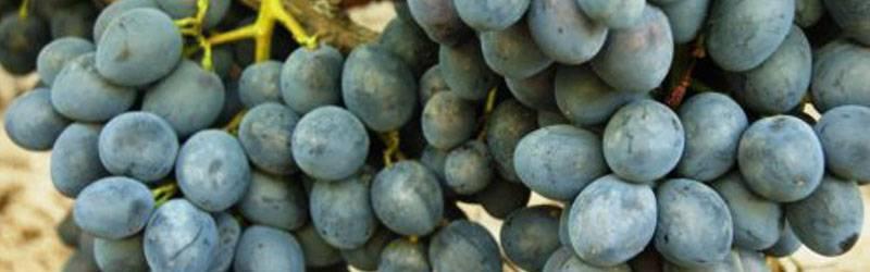 vinograd-konsul-500x333